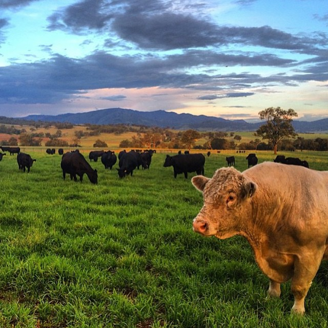 I love cows.... In the beautiful hunter valley . Great shot @adelaide_watson #huntervalley #cows #repost #beauty #moo